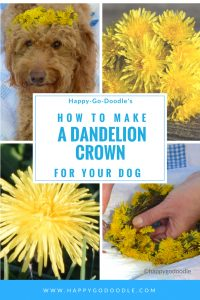 goldendoodle dog wearing a dandelion crown and a close up of dandelion flowers and handing braiding a dandelion crown and title how to make a dandelion flower crown for your dog