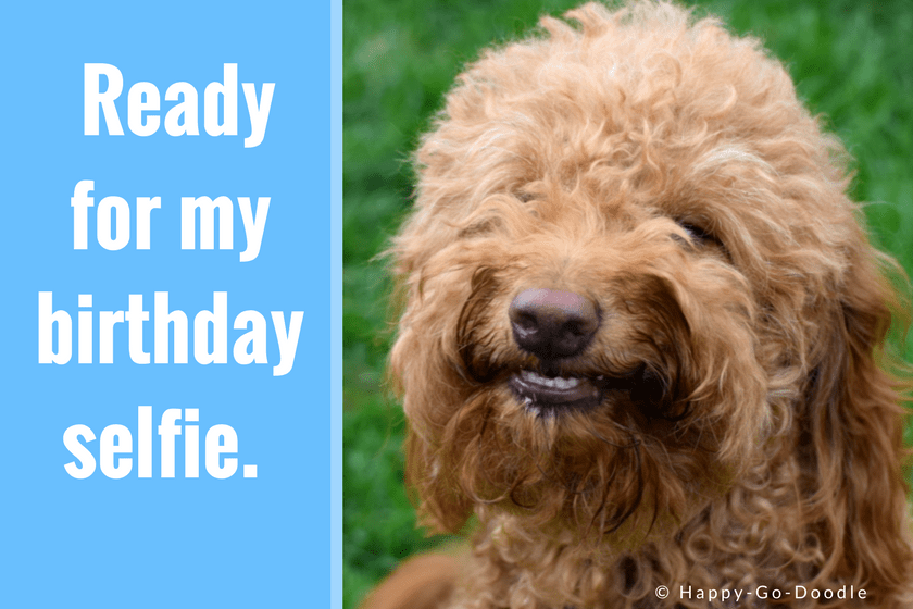 Red goldendoodle dog smiling with teeth showing and birthday caption that reads ready for my birthday selfie