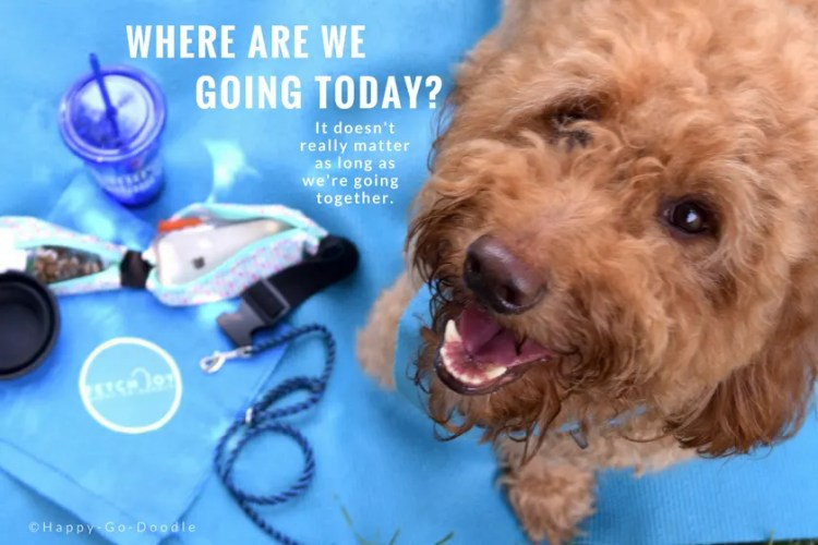 "This red goldendoodle is smiling and asking ""where are we going today?"" And in small types, answers ""It doesn't really matter as long as we're going together."" Dog is on blue background"