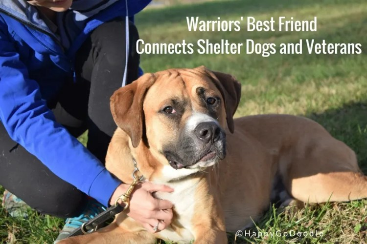 Photo of Service Dog in training with title Warriors' Best Friend Connects Shelter Dogs and Veterans