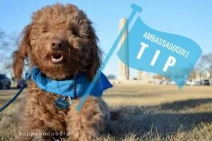 Happy-Go-Doodle Chloe with tour guide flag in front of the World War 1 Memorial in Kansas City Missouri