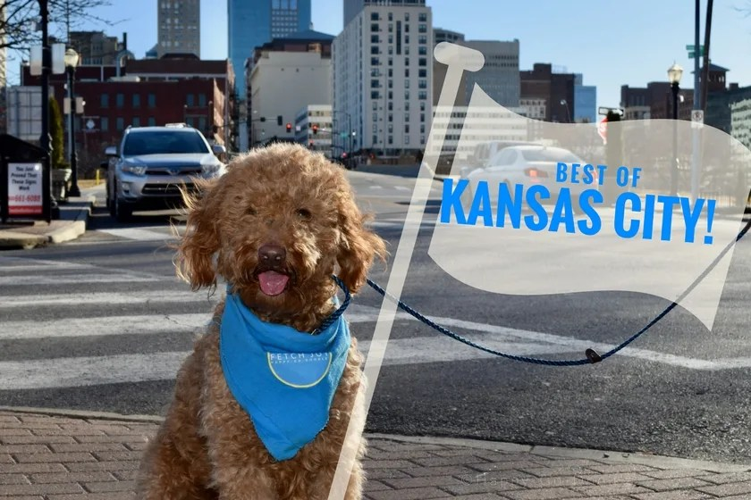 "Red goldendoodle dog with tour guide flag that reads ""best of Kansas City"" and Kansas City skyline in background of photo"