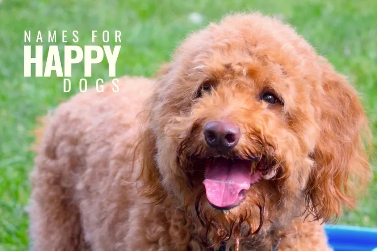 red goldendoodle dog with smiley face and title goldendoodle dog names for happy dogs