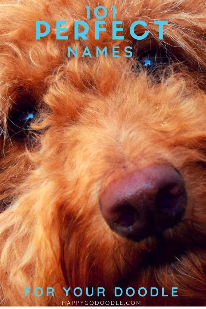 Close-up of red goldendoodles face and title 101 perfect goldendoodle names