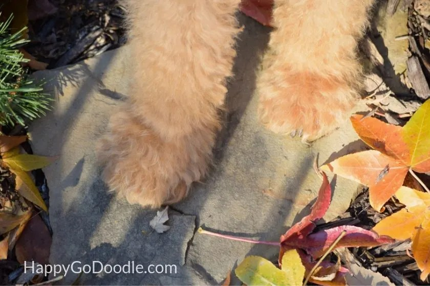 red goldendoodle dog's paws with dark colored nails