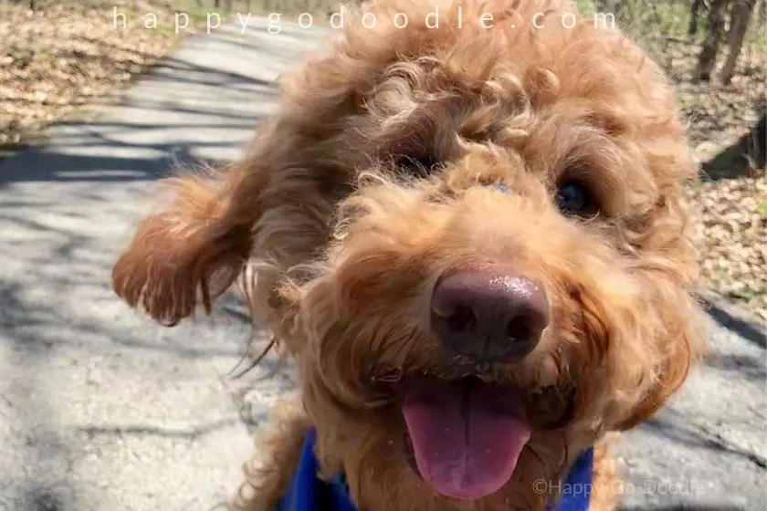 my dog is my best friend and close-up photo of goldendoodle face