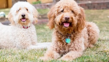 How Much Are Goldendoodles? The