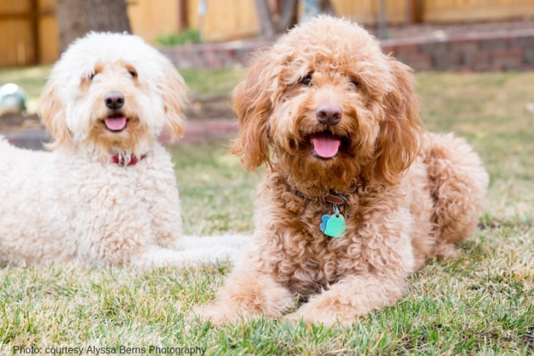 red goldendoodle sitting next to a cream goldendoodle