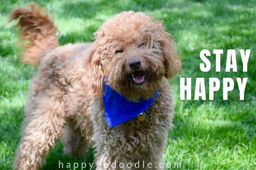 photo of cute goldendoodle dog birthday meme says stay happy