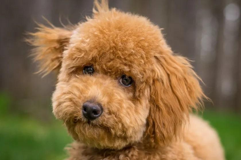 red goldendoodle dog's face image