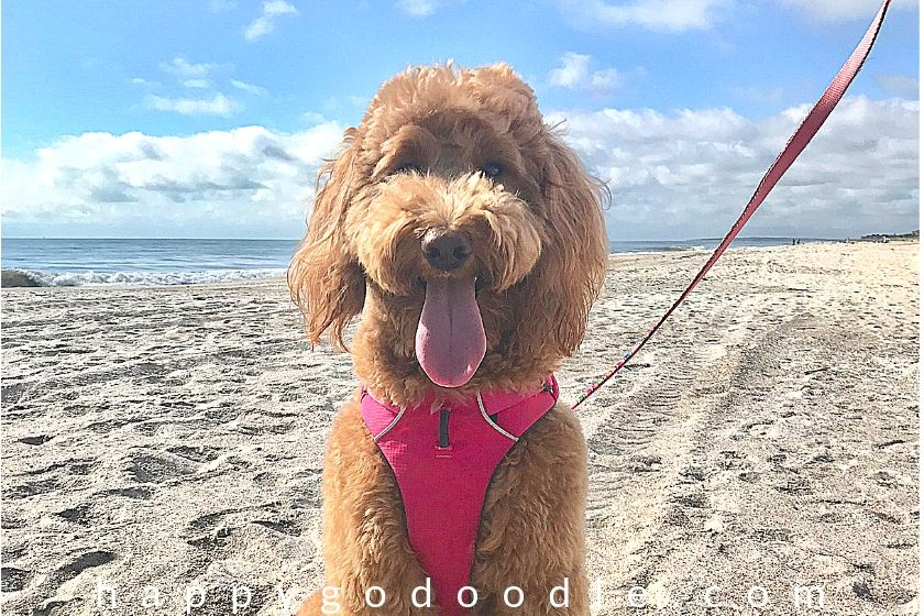 Red goldendoodle dog sitting on Amelia Island's beach with ocean in background