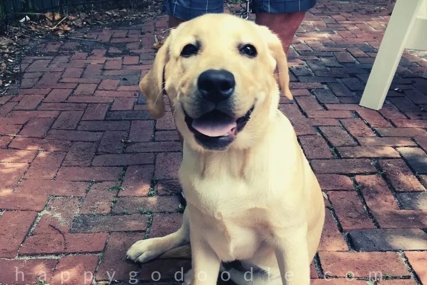 photo smiley labrador retriever