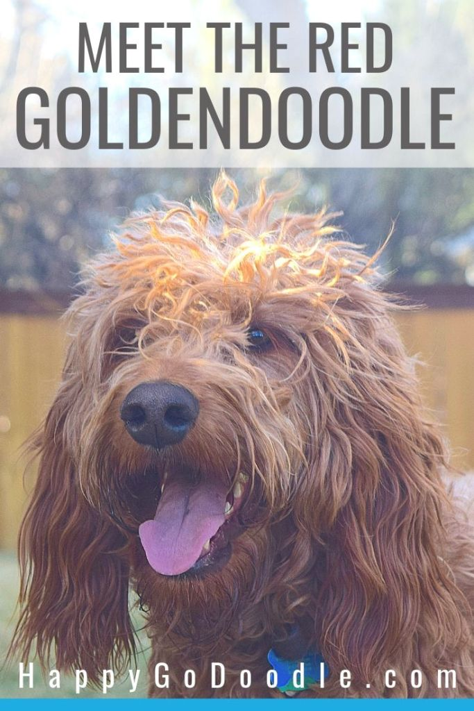 Photo red Goldendoodle dog with big grin and title Meet the Red Goldendoodle