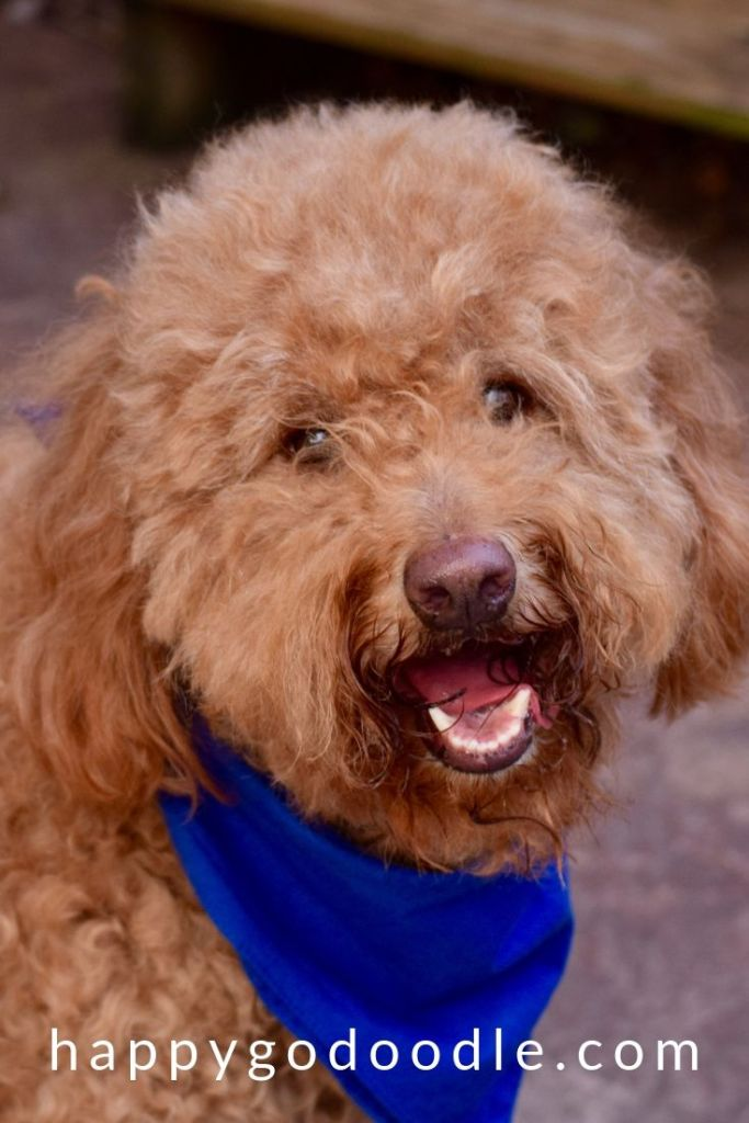 photo red goldendoodle dog's face after grooming with best brush for goldendoodle