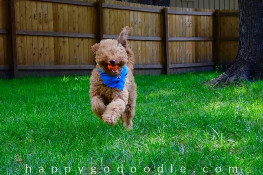 photo of a Goldendoodle running in yard