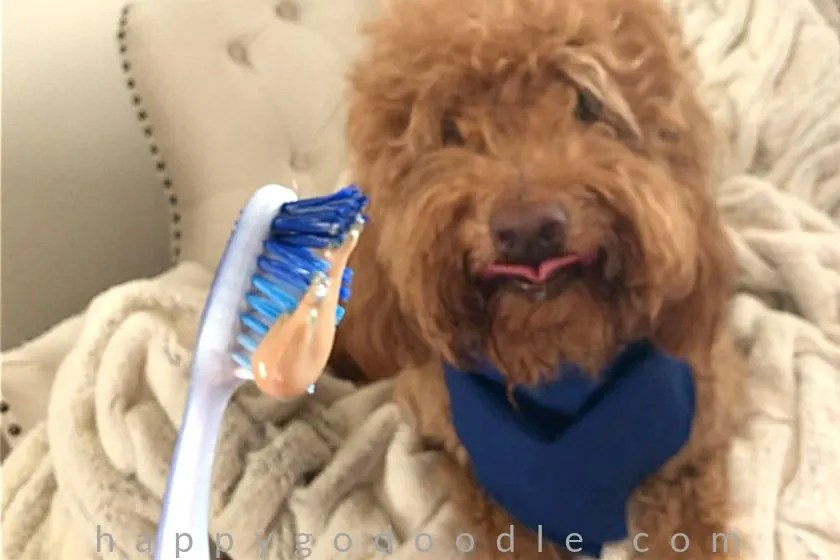 photo red goldendoodle dog with tongue out and looking at dog toothpaste on dog toothbrush