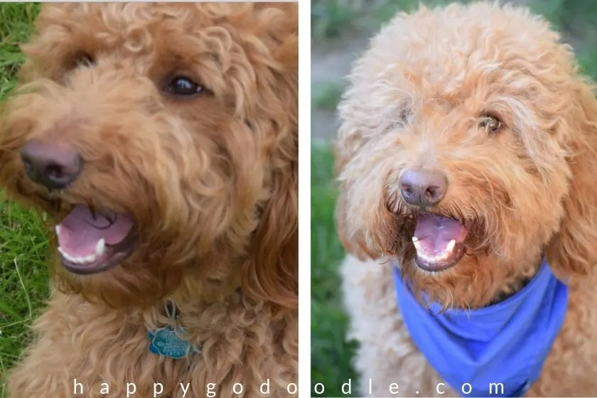photos of red goldendoodle dog smiley and showing white teeth