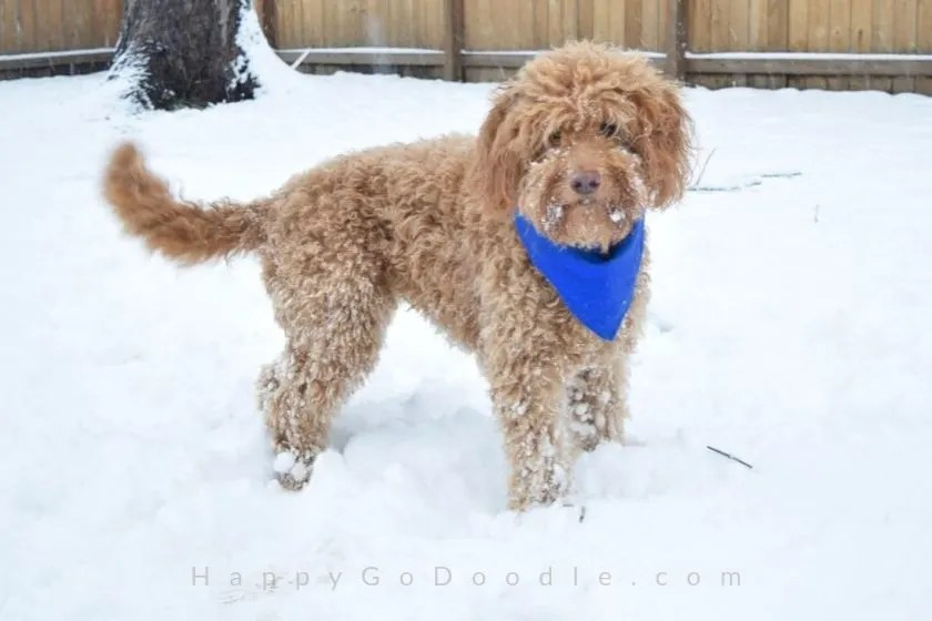 photo goldendoodle dog standing in wintry landscape with lots of snow