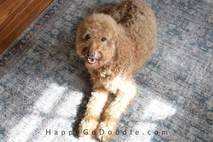 photo of red f1G Goldendoodle