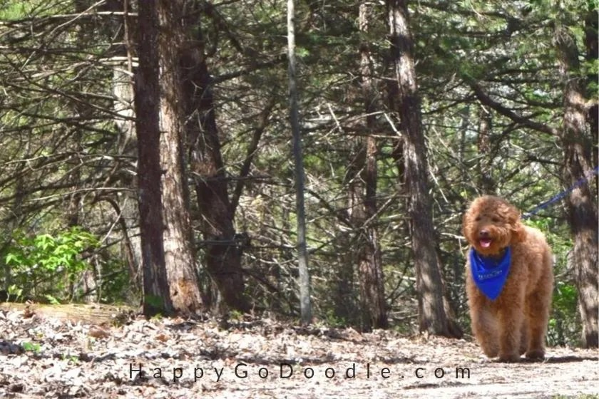 Adult Goldendoodle dog wearing bandana and hiking through woods in the fall, photo