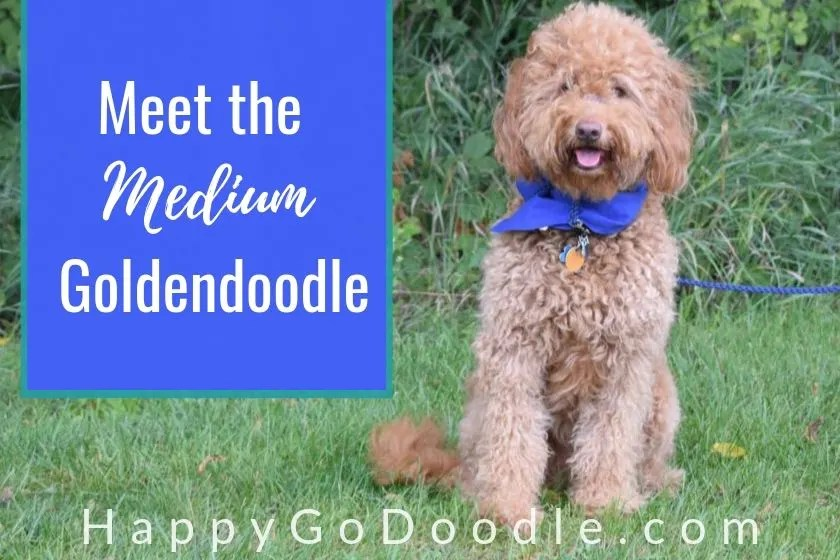 photo red goldendoodle sitting on grass and title meet the medium goldendoodle