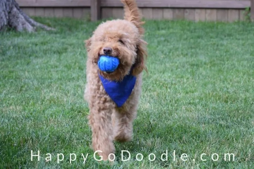 photo adult medium Goldendoodle dog with ball