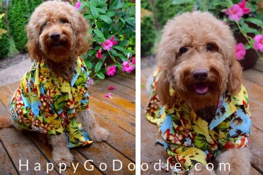 photo medium goldendoodle dog in Hawaiian shirt