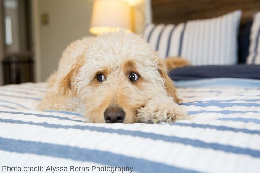 photo medium Goldendoodle dog lying on bed