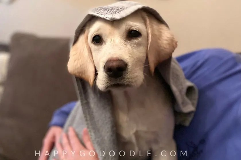 photo labrador retriever puppy in a towel