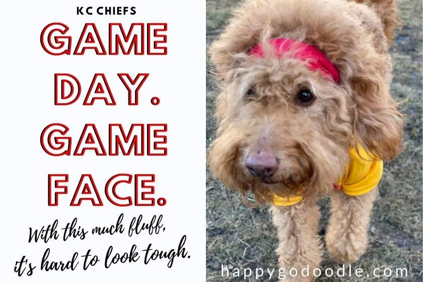 goldendoodle dog wearing mahomie shirt and title game day game face