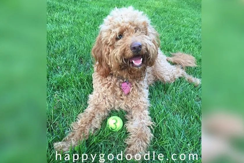 3-year-old Goldendoodle with tennis ball sitting in grass. Photo.