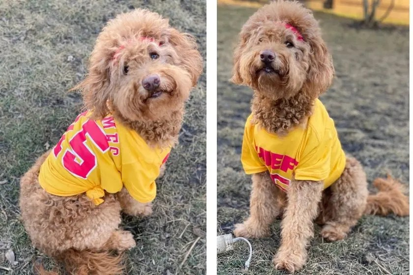 photos goldendoodle dog wearing mahomie shirt with #15