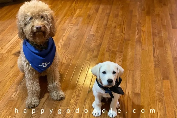 goldendoodle dog and labrador retriever puppy practicing sit command. photo