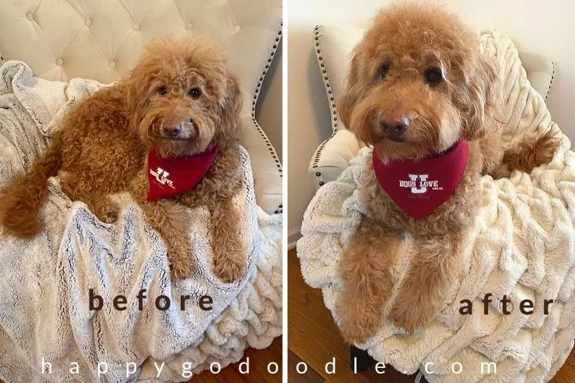 Before and after photo of a Goldendoodle pre grooming and post grooming. Photo.