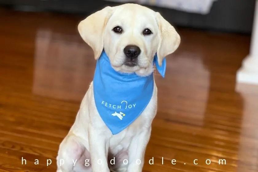 puppy wearing blue bandana sitting as part of obedience training. photo.