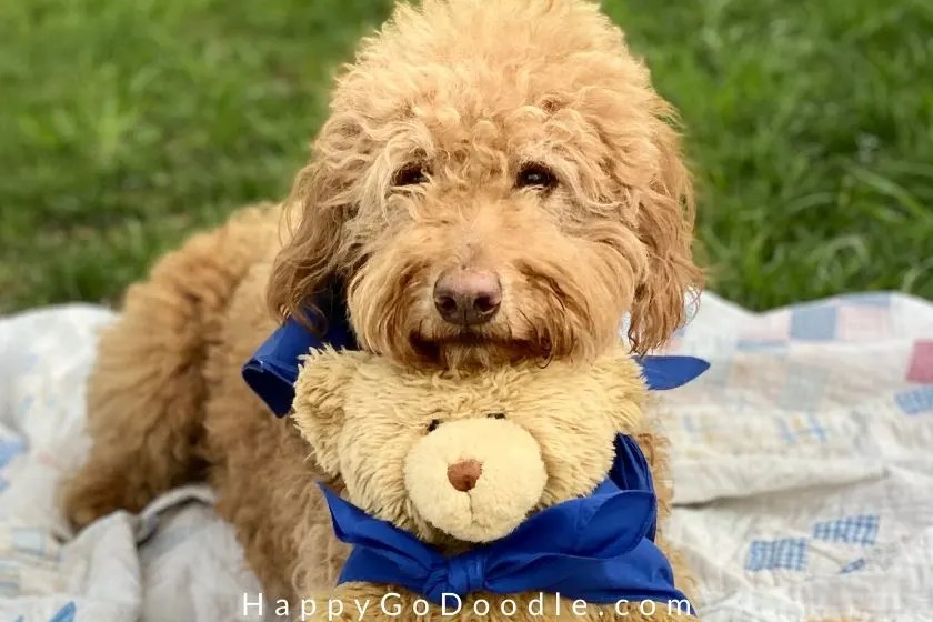 Adult Goldendoodle and teddy bear faces looking into camera. photo.