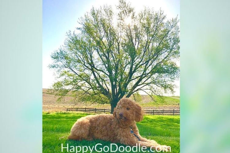 dog outside on green grass with shade tree in background. photo