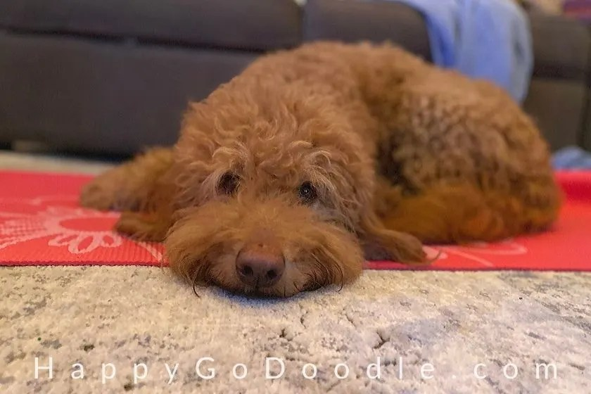 Medium-sized Goldendoodle dog lying on a yoga mat. photo.