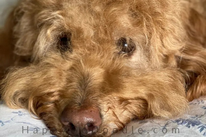 close up of red goldendoodle dog's face looking sweet. photo.