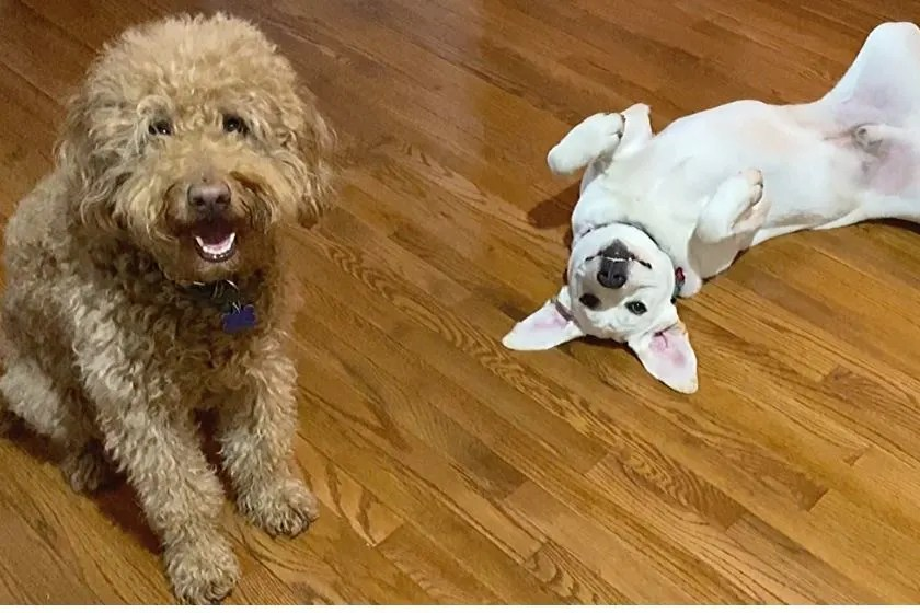 smiley faced medium sized goldendoodle and white labrador puppy acting silly. photoi
