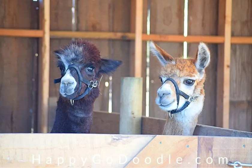 two llamas looking very happy, photo.