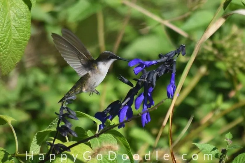 hummingbird drinking from a blue flower around green plants as an example of happy things, photo