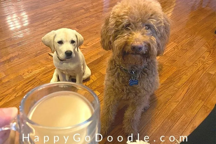 lab puppy and adult goldendoodle sitting patiently while mom drinks a cup of coffee, photo.