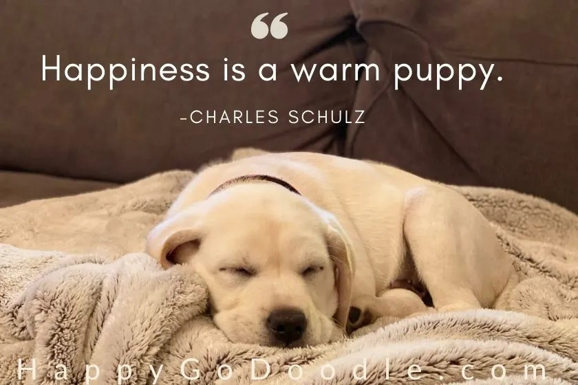 white puppy snuggled on soft blanket and dog quote from c. shulz: happiness is a warm puppy. photo.