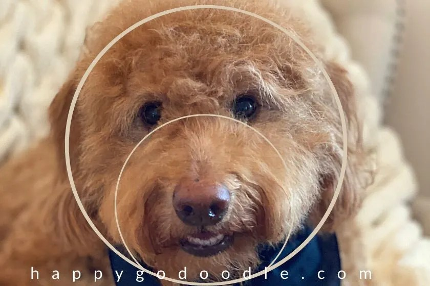 red goldendoodles face with circle around head and second circle around muzzle to show the importance of roundness when trimming a teddy bear goldendoodle. photo