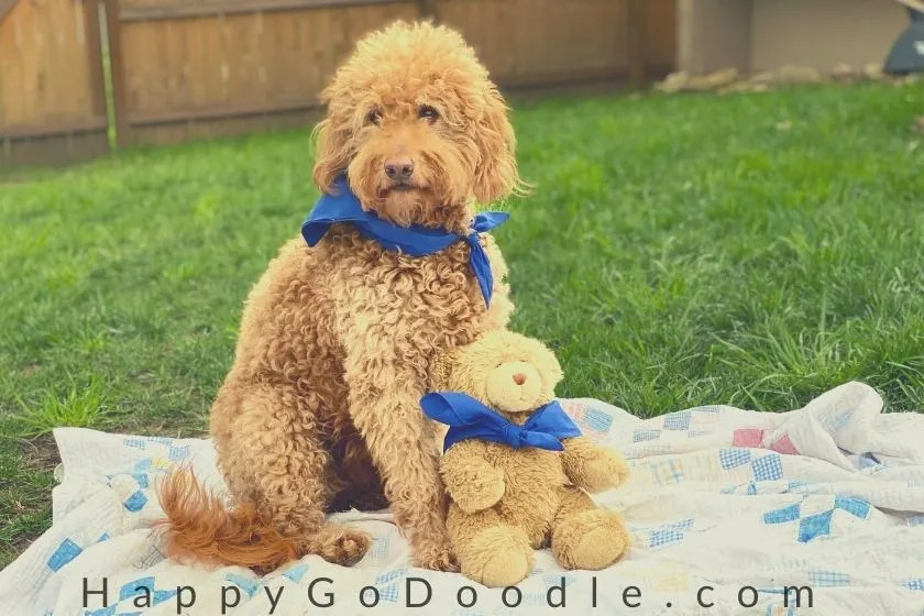 F1B Goldendoodle groomed with a teddy bear cut sitting beside a teddy bear on a blanket outside. Photo.