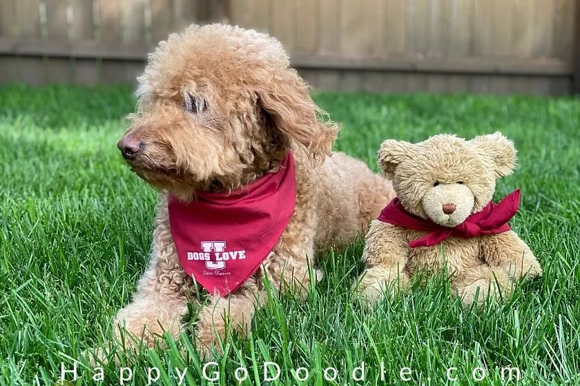medium goldendoodle sitting next to teddy bear that looks like the dog. photo.
