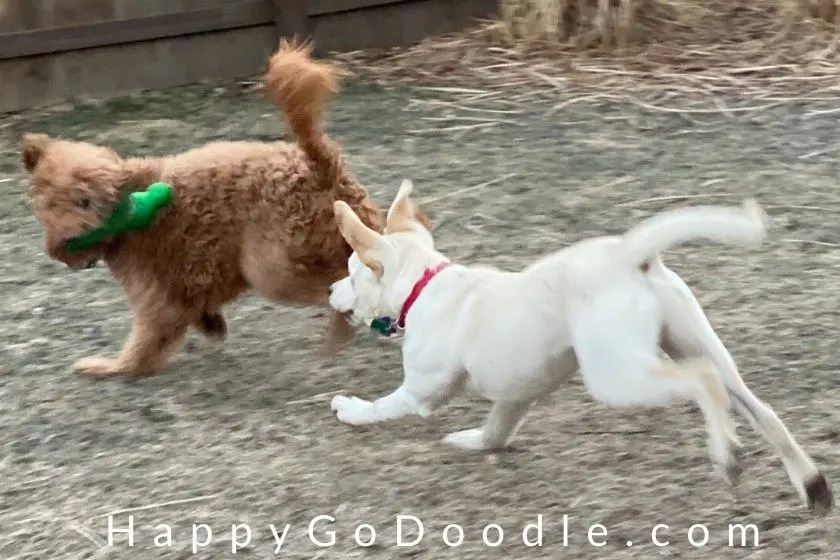 Adult Goldendoodle dog playing chase with a Lab puppy, photo