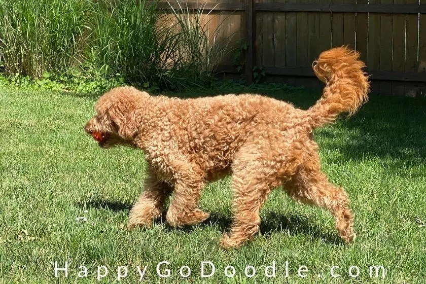 Furry red Goldendoodle dog trotting in grass and title Fur Bear as an example of words that describe dogs, photo