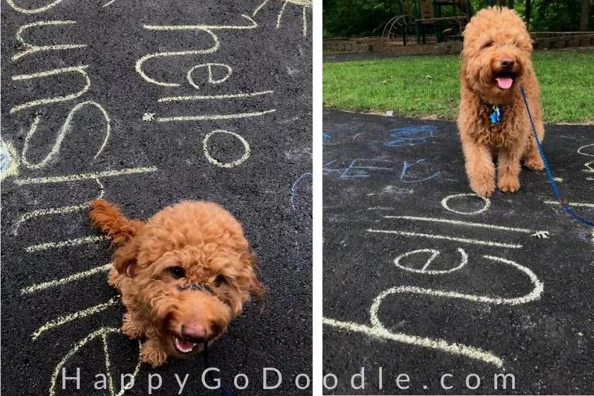 "adult Goldendoodle dog sitting by sidewalk chalk art that says, ""hello sunshine,"" photo."